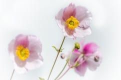 Jasnoróżowego kwiatu Japoński anemon, zakończenie Zdjęcie Royalty Free