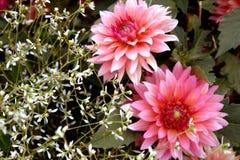 Jasnoróżowi okwitnięcia z Delikatnymi Białymi kwiatami obrazy stock