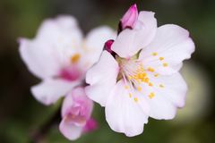 Jasnoróżowy migdałowy kwiat zdjęcie stock