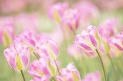 Jasnoróżowi i kolor żółty pasiaści tulipany Zdjęcia Stock