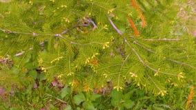Jasnozielone jedlinowe gałąź w lesie, zbliżenia tło zbiory