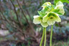 Jasnozieloni kwiaty ciemiernika biały Helleborus, boże narodzenia różani lub Wielkopostni wzrastali, zaczynają i kwitną wsz zdjęcie royalty free