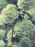 Jasnozieloni kwiaty gromadzący się w piłkach fotografia royalty free