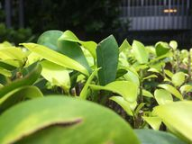 Jasnozieloni liście zdjęcie stock