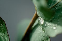Jasnozielony eukaliptus z wodnymi kroplami obraz royalty free
