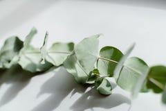 Jasnozielony eukaliptus z wodnymi kroplami obrazy stock