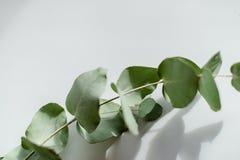 Jasnozielony eukaliptus z wodnymi kroplami obrazy royalty free