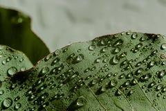 Jasnozielony eukaliptus z wodnymi kroplami zdjęcia stock