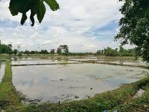 Jasny ricefield fotografia stock
