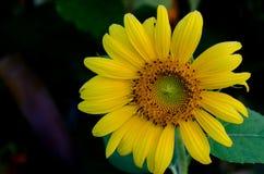 Jasny słońce kwiat Zdjęcia Royalty Free