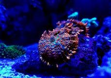 Free Jason Fox Raunchy Red Mushroom - Anthomastus Ritteri Stock Photos - 147858253