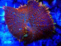 Free Jason Fox Raunchy Red Mushroom - Anthomastus Ritteri Royalty Free Stock Photo - 186517035
