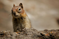 Jaspe de Chipmunk @ Photo stock
