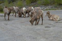 Jasper Animals Stockfotografie