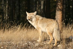 Jasper coyote. A lone coyote basking in the sun outside Jasper, Alberta in Jasper National Park Stock Photos