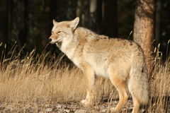 Jasper coyote royalty free stock image