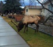 Jasper Elk eating grass right on the sidewalk in Jasper, Alberta royalty free stock photos