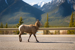 Jasper mountain goat Royalty Free Stock Photos