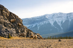 Jasper Mountain goats Royalty Free Stock Photos
