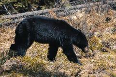 Jasper National Park, Alberta, Canada, black bear wanders, Travel Alberta, Canadian Rockies, Icefields parkway, Maligne Lake, royalty free stock photos