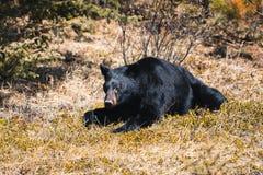 Jasper National Park Alberta, Kanada, den svarta björnen irrar, loppet Alberta, kanadensiska steniga berg, den Icefields gångallé arkivbilder