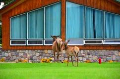 Jasper Park Lodge, Rocky Mountains, Westelijk Canada stock foto