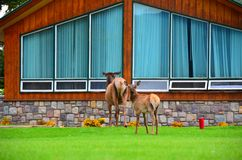 Jasper Park Lodge, Rocky Mountains, Western Canada. Elk Wildlife roam free at Jasper Park Lodge,  Jasper National Park, Alberta, Western Canadian Rocky Mountains Stock Photo