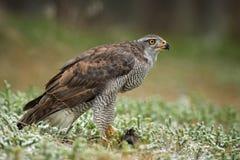 Jastrząb - Accipiter gentilis zdjęcia stock