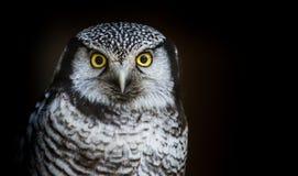 Jastrząb sowa lub sowa przy nocy obsiadaniem na gałęziastym czekaniu dla zdobycza Zdjęcie Stock