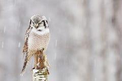 Jastrząb sowy obsiadanie na gałąź podczas zimy z śnieżnym płatkiem Zimy scena z ptakiem Śnieżny spadek z sową Przyrody zimy scena Fotografia Royalty Free
