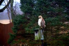 Jastrząb umieszczający na ptaka domu Zdjęcia Royalty Free