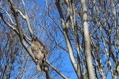 Jastrząb w drzewie zdjęcia royalty free