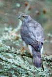Jastrząb w lasowych ptakach zdobycza jastrzębia obsiadanie na gałąź w spadać modrzewiowym lesie podczas jesieni Drewniany zwierzę Fotografia Stock
