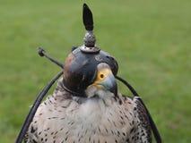 jastrząbek głowa zdjęcie royalty free