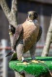 Jastrząbek przy jastrząbkiem Souq, ptaki zdobycz zdjęcia stock