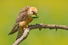 Jastrząbek z chwyt szarańczy pasikonikiem Footed jastrząbek, Falco vespertinus, ptasi obsiadanie na gałąź z jasnym zielonym tłem, Zdjęcie Stock