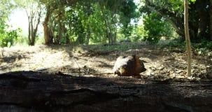 Jastrząbka orła łasowania smycz zdjęcie wideo