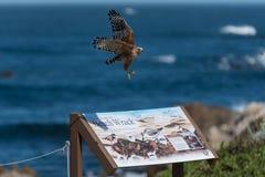 Jastrzębi flys nad znak na wybrzeże pacyfiku Zdjęcie Royalty Free