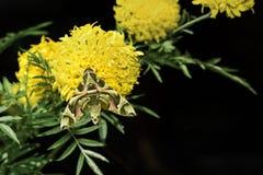 Jastrzębia ćma na nagietka kwiacie Obraz Royalty Free