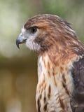 Jastrzębia Czerwony Ogoniasty Ptak drapieżny zbliżenie Profil Obraz Royalty Free