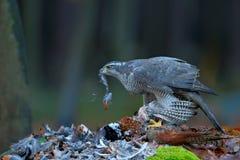 Jastrzębia zwłoki Pospolity bażant na trawie w zielonym lesie, ptak zdobycz w natury siedlisku, Norwegia Zdjęcie Stock