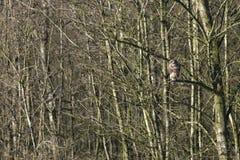 Jastrząb w drzewie Fotografia Stock