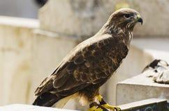 jastrząbek Opierzony ptak zdobycz Obraz Royalty Free
