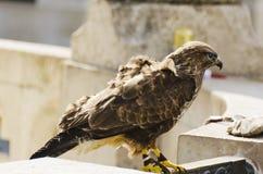 jastrząbek Opierzony ptak zdobycz Obrazy Royalty Free