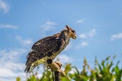 Jastrząbek przy Bali ptaków parkiem Fotografia Royalty Free