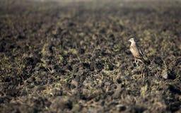 Jastrząbek w polu Zdjęcie Royalty Free