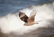 Jastrząbka latanie Fotografia Stock