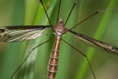 jastrzębia komar Zdjęcia Royalty Free