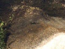 Jaszczur w jeziorze Zdjęcia Royalty Free