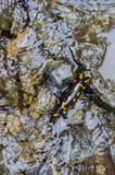 Jaszczur w przyrodzie, w świeżej wodzie halny strumień Fotografia Stock